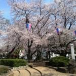 浦和 調神社の桜
